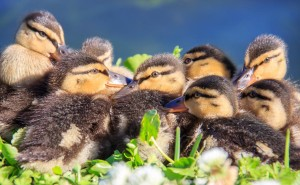 low res ducklings-2