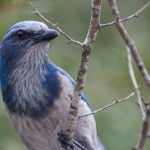 scrub jay low res for Flickr-8816